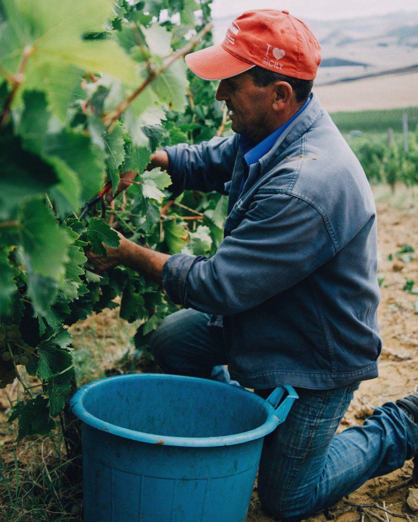 Un contadino raccoglie l'uva per la vendemmia